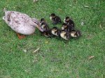 ducklings-831043__180