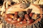 acorns-87792__180