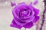 rose-1023302__180