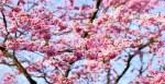 cherry-blossom-1318258__180